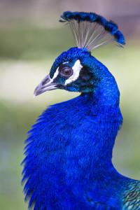 peacock strutting his stuff